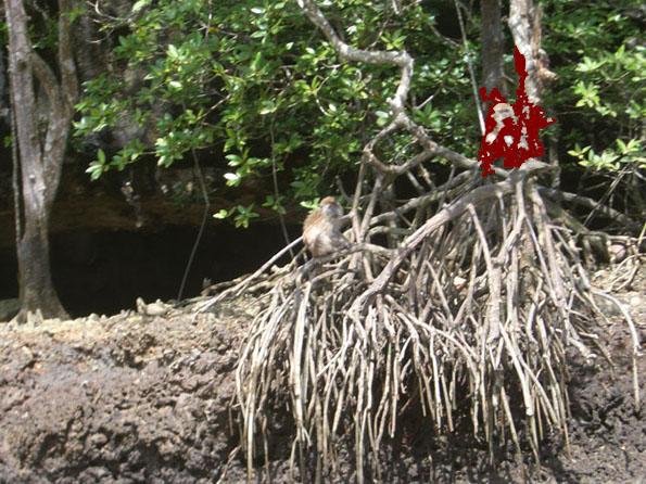 mangrove2.JPG